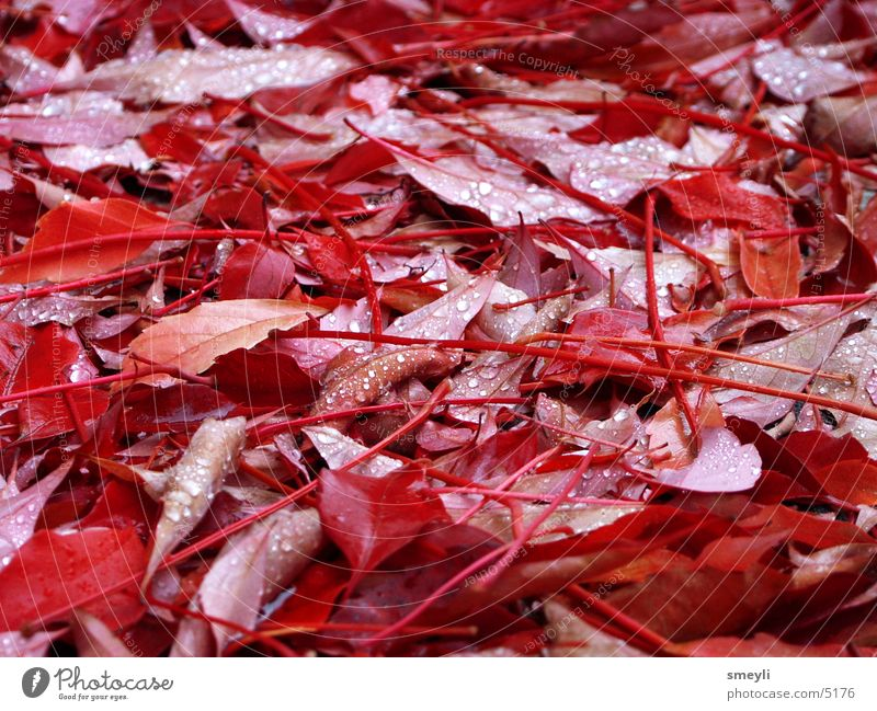 Nature Water Red Leaf Autumn Park Drops of water Vine Autumn leaves October September Autumnal Offense Vine leaf