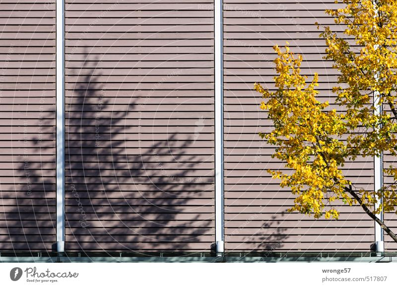 Tree Leaf Yellow Autumn Brown Facade Branch Autumn leaves Autumnal Shadow play Deciduous tree Cladding Part of a building