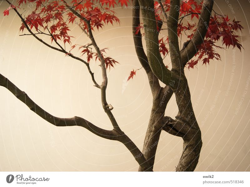 Japanese maple Environment Nature Plant Autumn Beautiful weather Tree Leaf Wild plant Maple tree Wood Twigs and branches Wall (building) Wall (barrier)