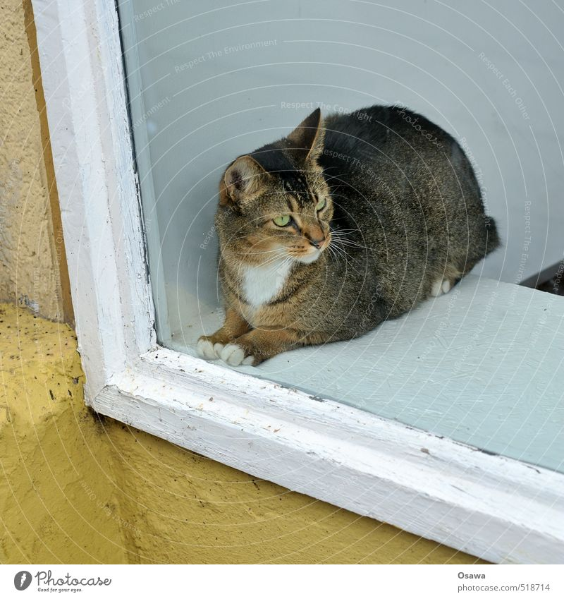 shop windows House (Residential Structure) Window Animal Pet Cat 1 Observe Think Crouch Looking Sit Esthetic Fat Elegant Beautiful Brown Yellow Black White