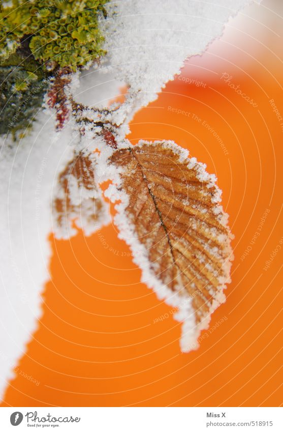 first snow Winter Ice Frost Snow Leaf Cold Beech leaf Hoar frost Ice crystal Snowfall Moss Winter mood Colour photo Multicoloured Exterior shot Close-up Detail