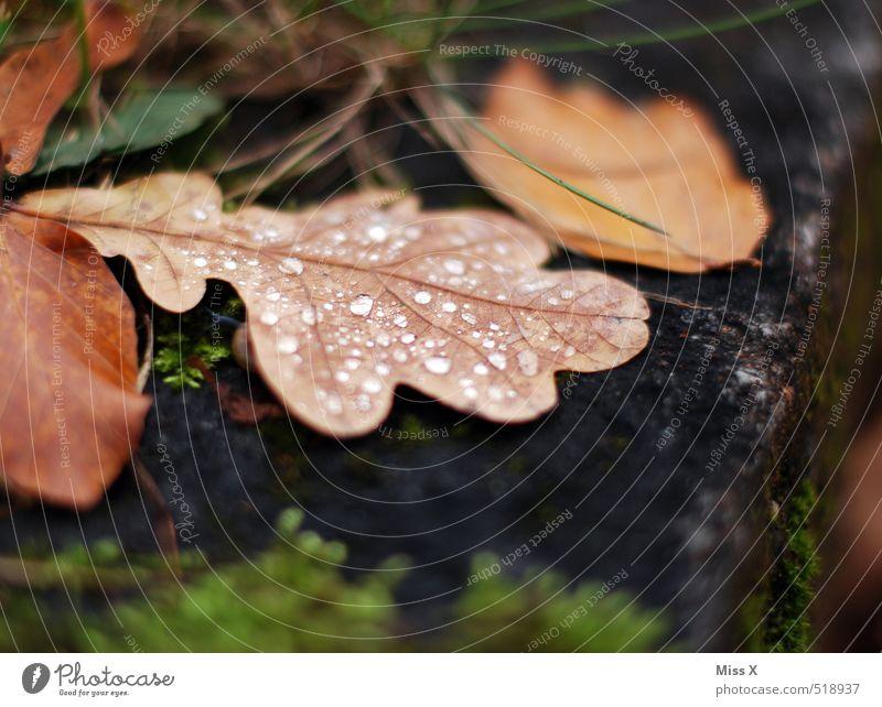oak leaf Drops of water Autumn Rain Leaf Wet Transience Dew Oak tree Oak leaf Autumn leaves Autumnal weather Colour photo Subdued colour Exterior shot Close-up
