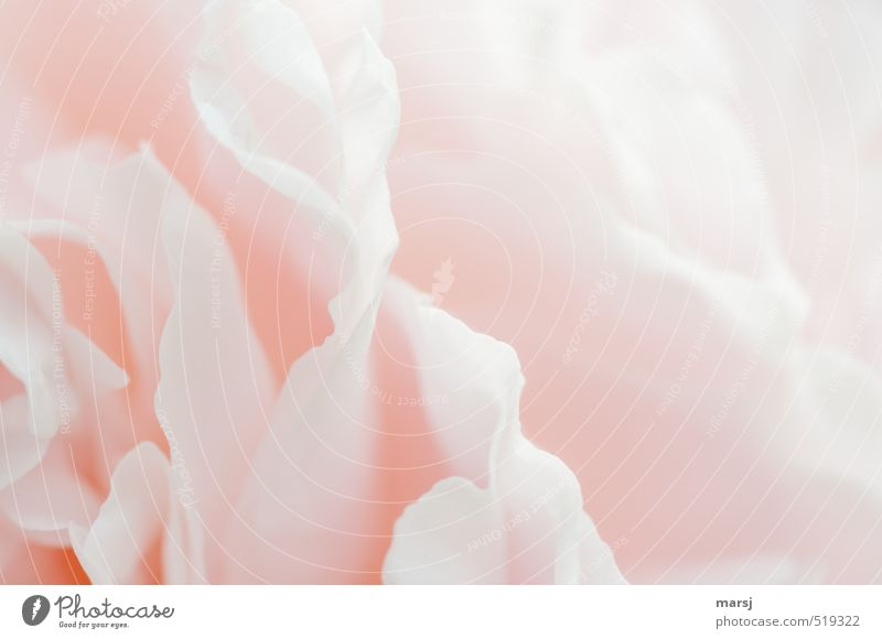 Beautiful Plant Flower Blossom Natural Pink Elegant Esthetic Touch Blossoming Hope Joie de vivre (Vitality) Mysterious Fragrance Inspiration Peony