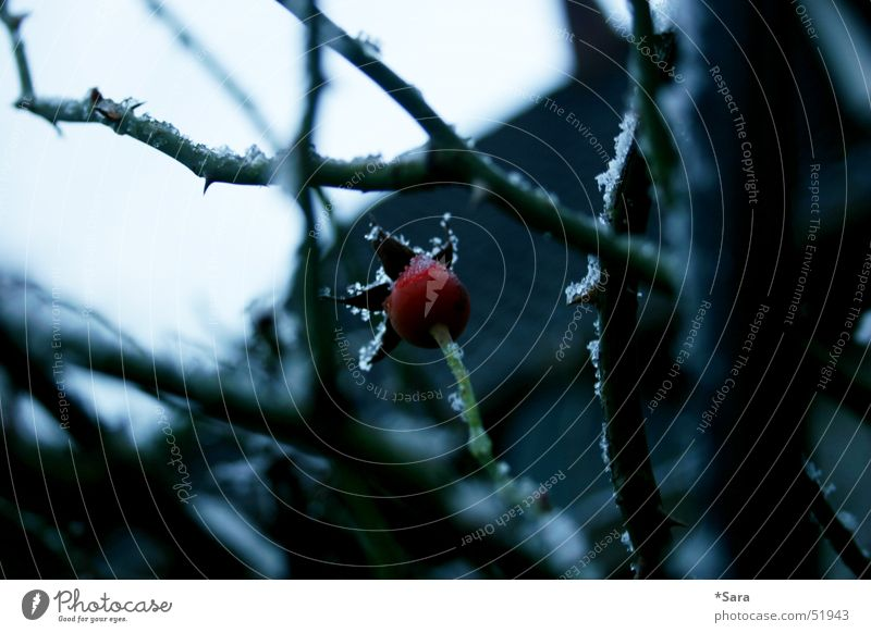 Red Winter Cold Snow Frost Gloomy Rose Bud Thorn Twigs and branches Leafless