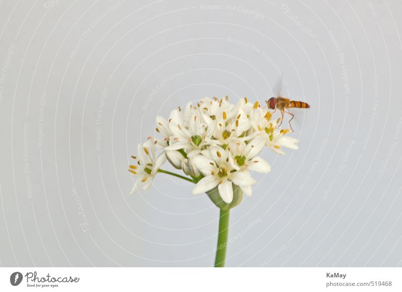 Hoverfly on leek blossom Nature Plant Animal Air Flower Blossom Garlic Wild animal Insect Hover fly 1 Blossoming Flying Free Bright Natural Yellow Gold Green