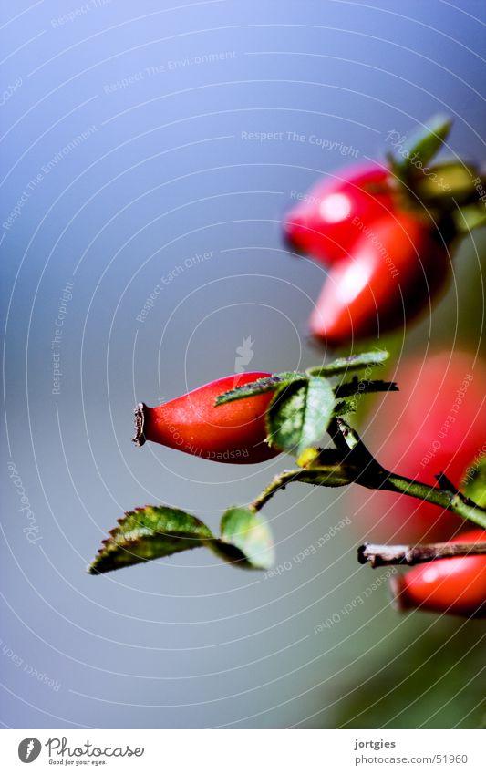 nature // in detail Rose Red Fruit dog rose