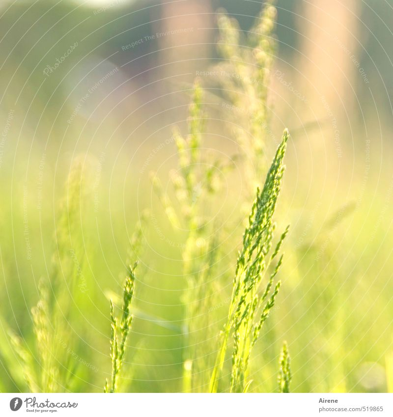 Time change. I had a good time. Nature Plant Summer Beautiful weather Grass Foliage plant Ear of corn Grain Meadow Friendliness Bright Natural Yellow Gold Green