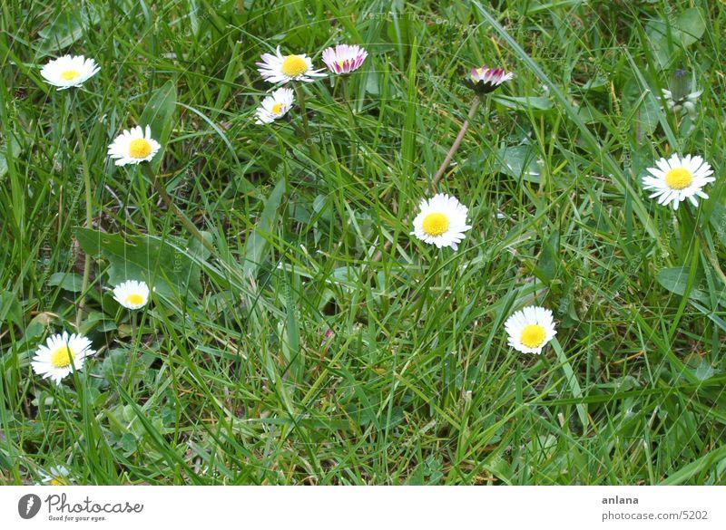 springtime gaenseblumi