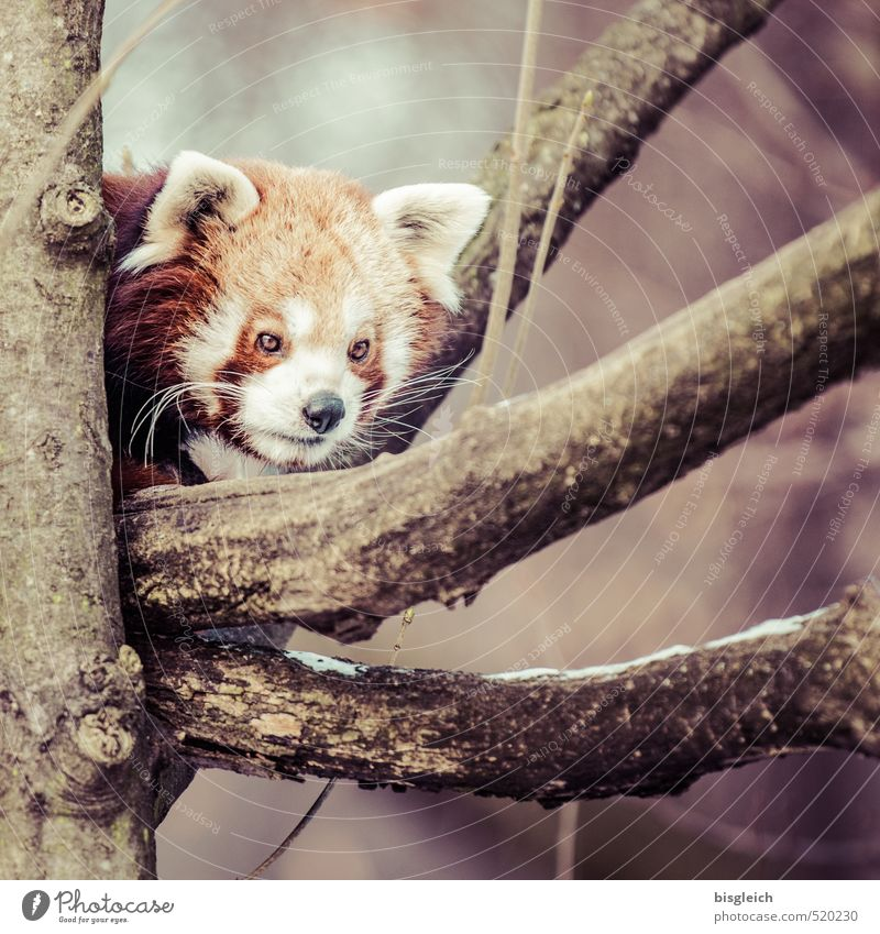 red panda Zoo Animal Wild animal Red Panda 1 Looking Wait Curiosity Brown Attentive Watchfulness Fear Colour photo Exterior shot Deserted Day Animal portrait