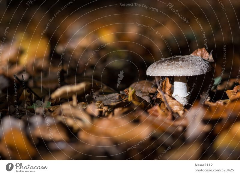 evening sunbeams Environment Nature Plant Earth Sunlight Autumn Climate Weather Beautiful weather Forest Brown Mushroom Mushroom cap Leaf Deciduous forest