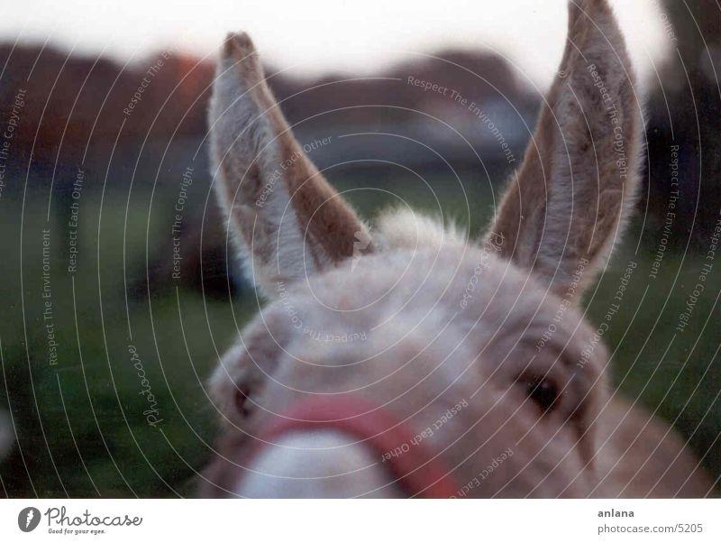 donkey Animal Ear Donkey