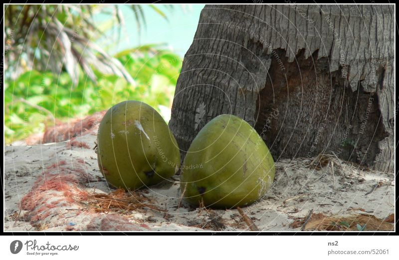 Coconuts in Mexico Palm tree Vacation & Travel Beach Virgin forest coconuts