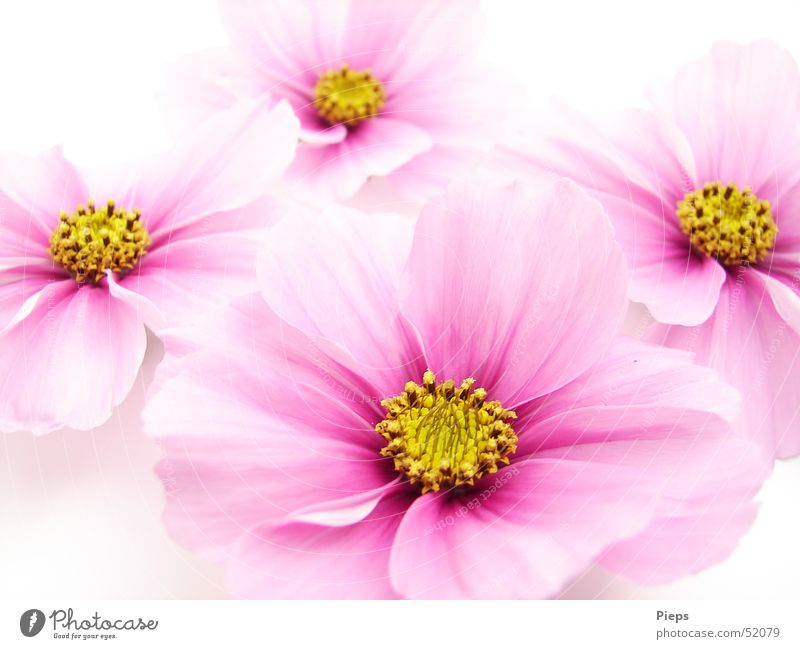 Cosmic Quartet Colour photo Interior shot Close-up Neutral Background pretty Harmonious Summer Garden Nature Plant Flower Blossom Decoration Blossoming Esthetic