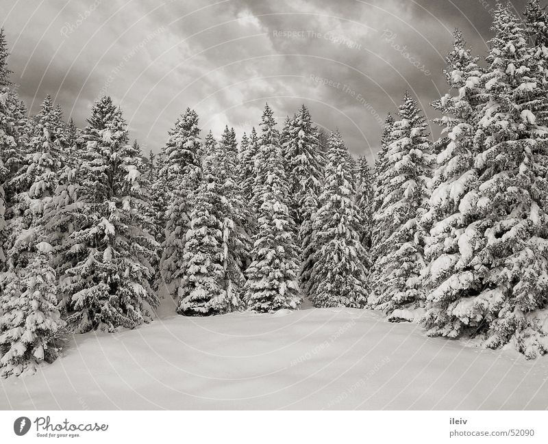 winter forest Virgin snow snow-covered fir trees Black & white photo