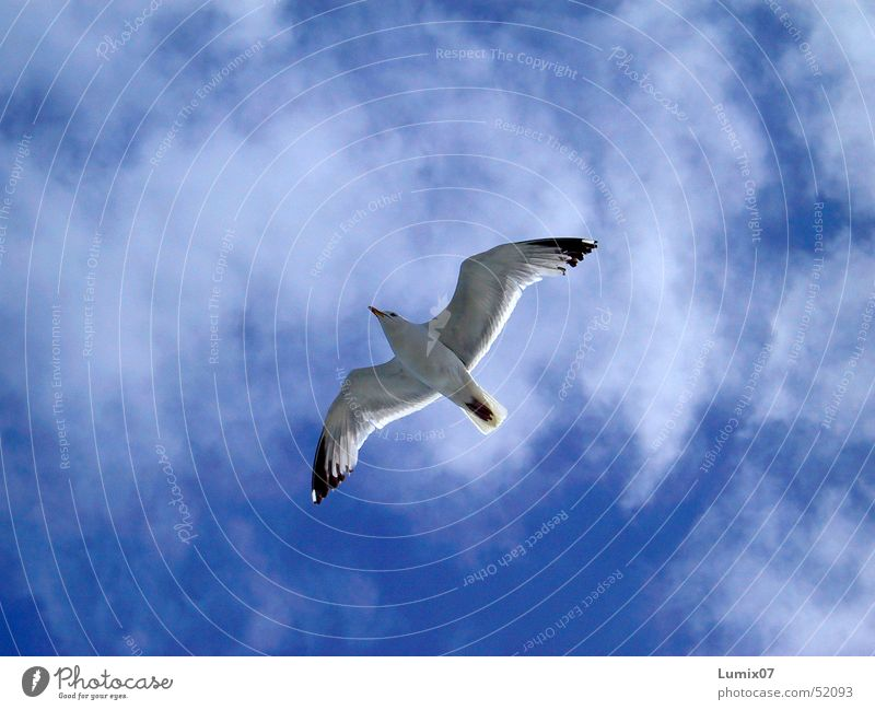seagull Seagull White Ocean Bird Animal Clouds Air Infinity Nature Peace Sky Blue Freedom Wing Flying Black-headed gull  wings fly boundless