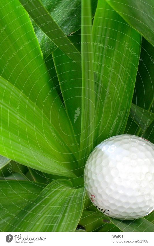Morning hour has golf in its mouth Plant Palm tree Leaf Green Flower Playing Thread Golf Ball putt