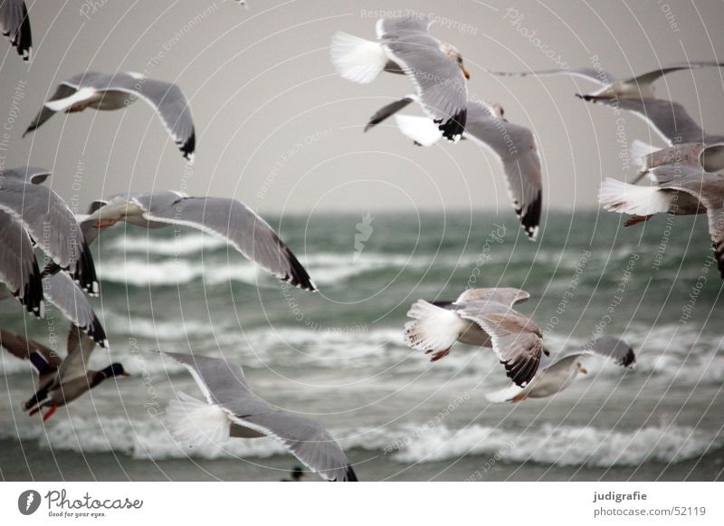 Gulls at the Baltic Sea Ocean Waves Nature Animal Water coast Wild animal Bird Grand piano Seagull Silvery gull Group of animals Movement Flying Cold Gray