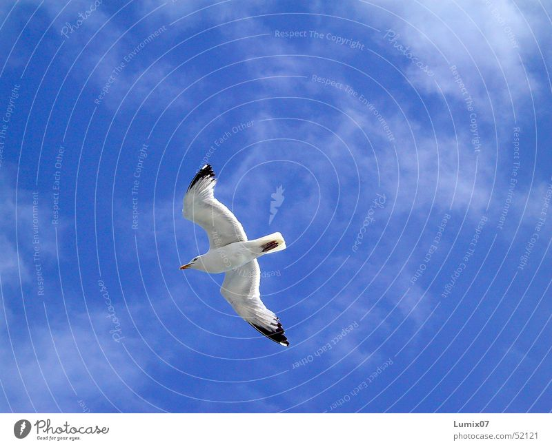 Seagull 2 White Ocean Bird Animal Clouds Air Infinity Nature Peace Sky Blue Freedom Wing Flying Black-headed gull  sea wings fly boundless