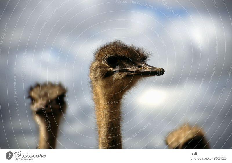 Ostrich Portrait South Africa Bird Far-off places Animal Bouquet