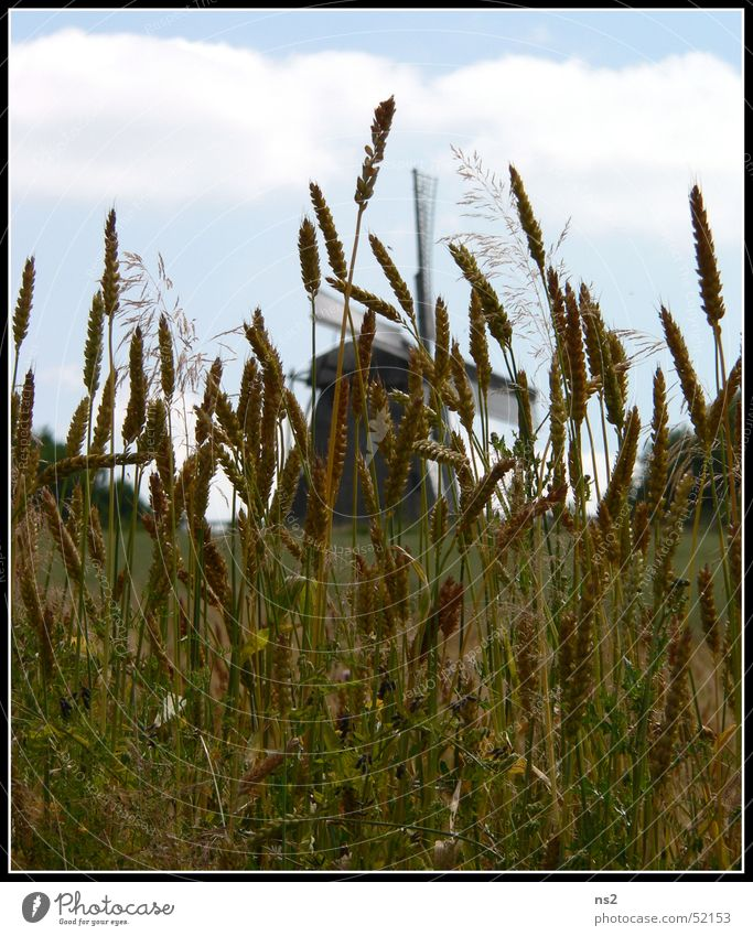 Field Wheat Mill Windmill Oats Detmold Open-air museum