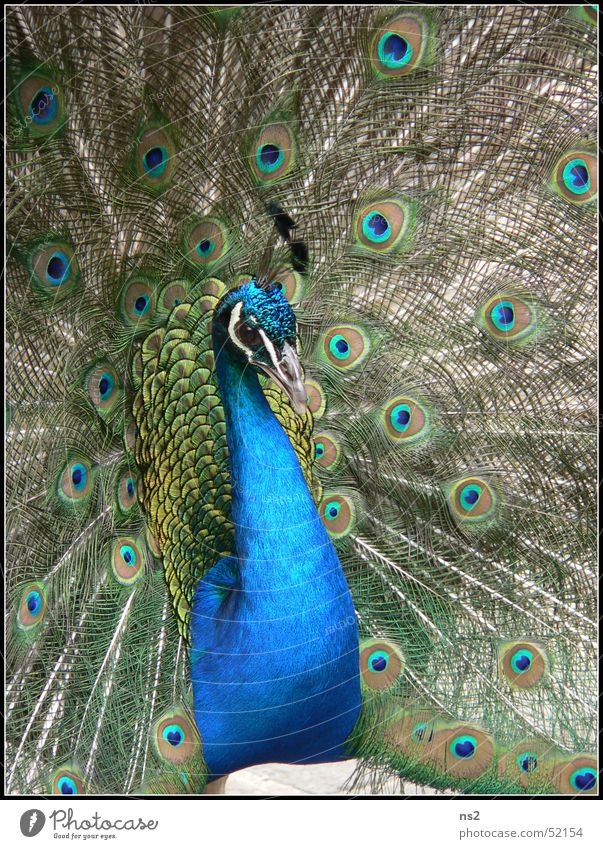 Peacock - beauty in the animal kingdom Bird Cornwall England Blue beauteousness Nature Pride