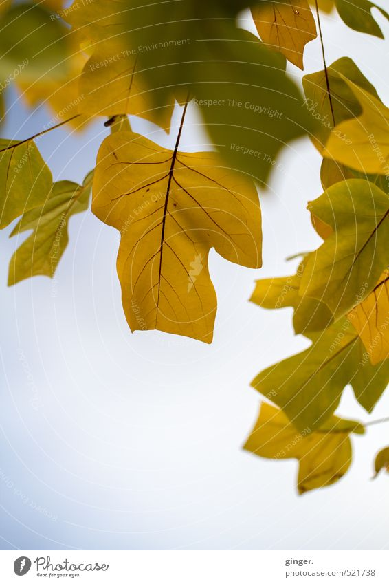 Quite typical autumn picture Environment Nature Plant Sky Autumn Climate Weather Beautiful weather Tree Leaf Blue Brown Yellow Green Bright Translucent Rachis