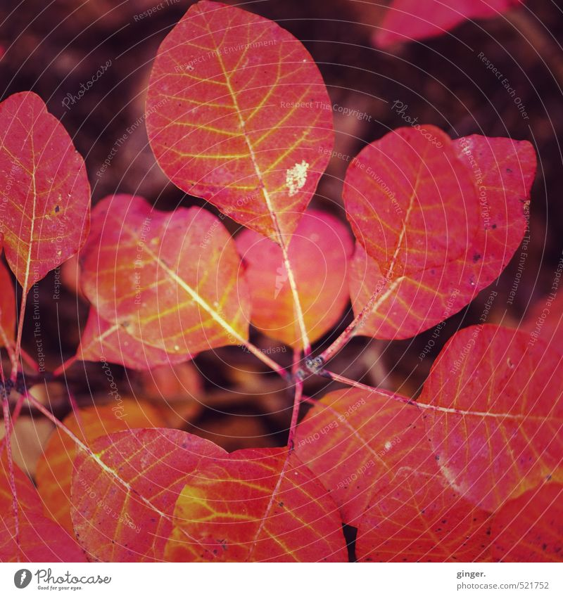Autumn burns Environment Nature Plant Fire Sunlight Climate Weather Beautiful weather Tree Bushes Leaf Garden Red Glow Burn Rachis Multiple diversified