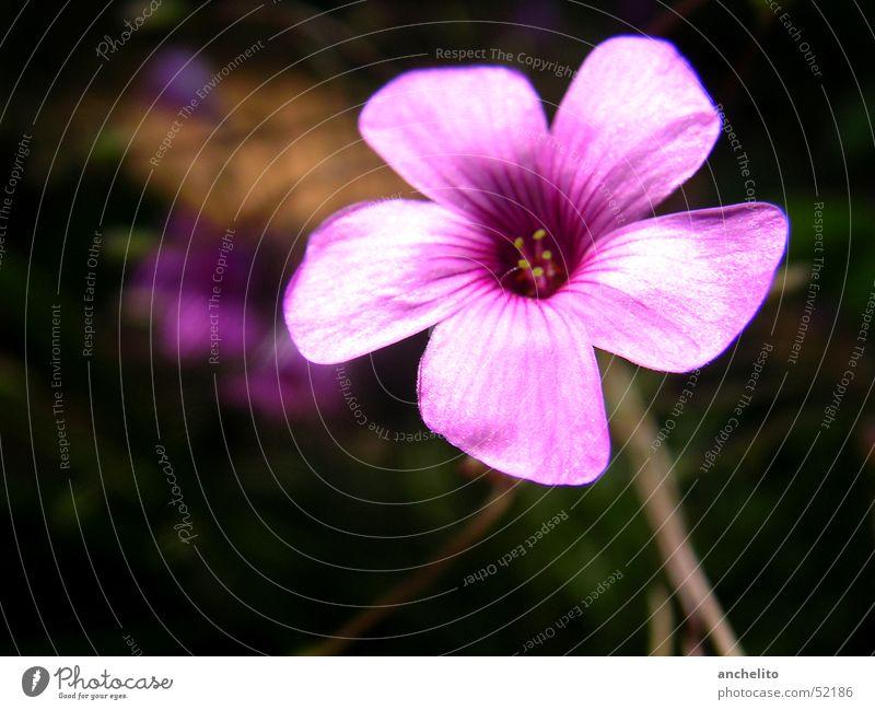 Nature Flower Black Blossom Pink Background picture Violet Stalk Blossoming Stamen