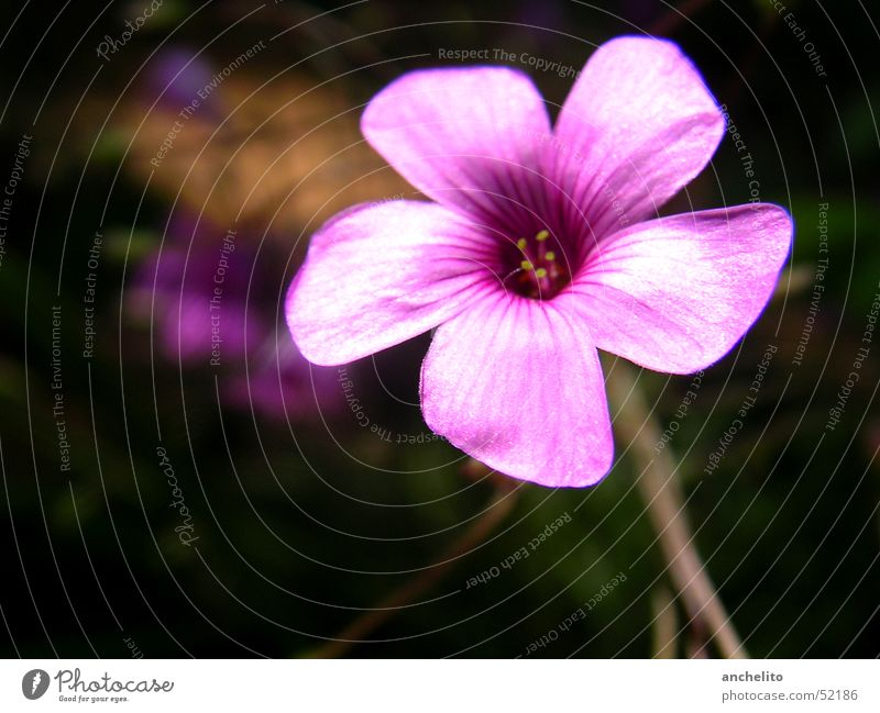 Nature Flower Black Blossom Pink Background picture Violet Stalk Blossoming Stamen