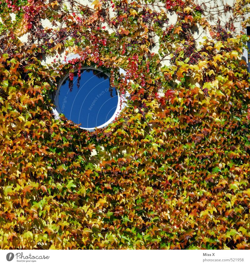 Hole top left Flat (apartment) Autumn Plant Bushes Ivy Wall (barrier) Wall (building) Facade Window Round Porthole Virginia Creeper Tendril Overgrown Growth