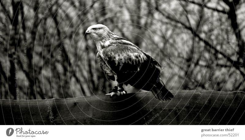 Eyes Animal Bird Feather Beak Thief Hawk