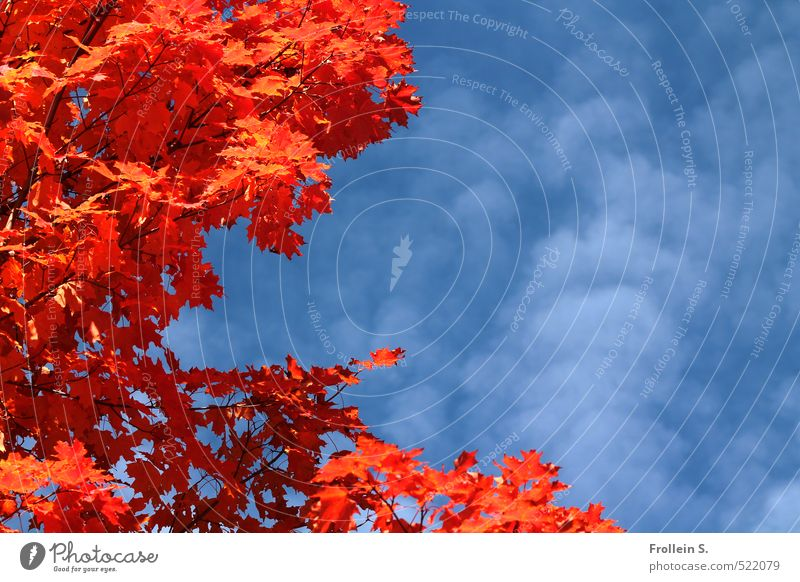 Plant   Oranje Nature Sky Clouds Autumn Beautiful weather Tree Maple tree Natural Blue Orange Indian Summer Gaudy Colour photo Exterior shot Deserted