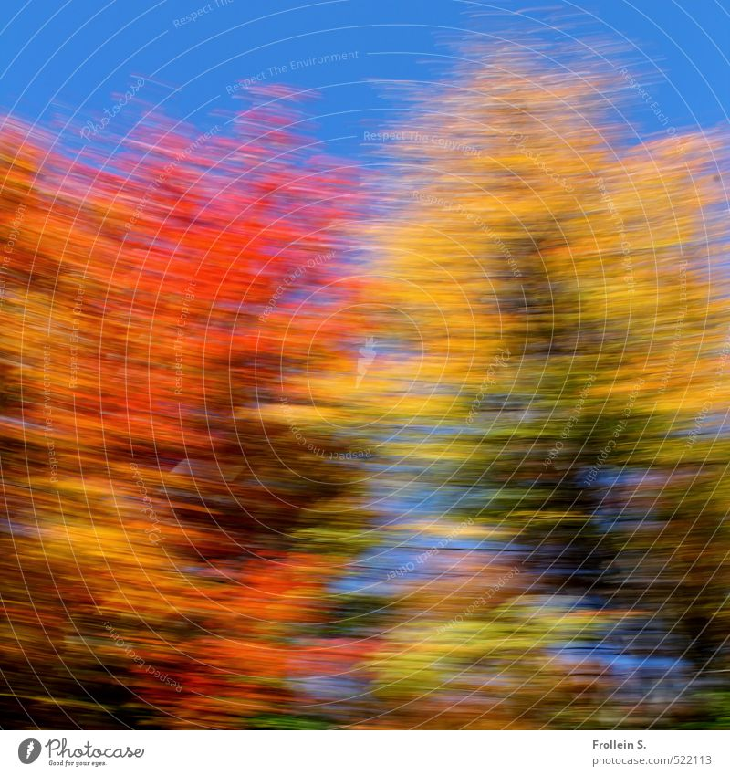Dance | Indian Summer Dance Cloudless sky Autumn Beautiful weather Tree Leaf foliage Maple tree Forest Edge of the forest Rotate Wild Blue Multicoloured Yellow