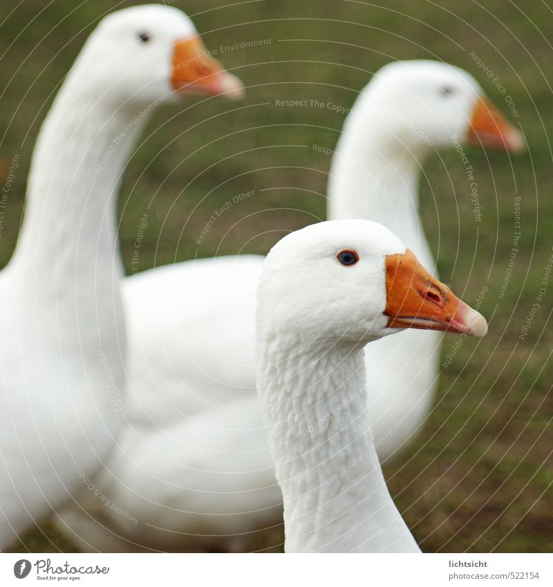 Goose attentive Grass Meadow Animal Pet Farm animal Bird Animal face 3 Group of animals White Duck Beak Feather Keeping of animals Livestock breeding