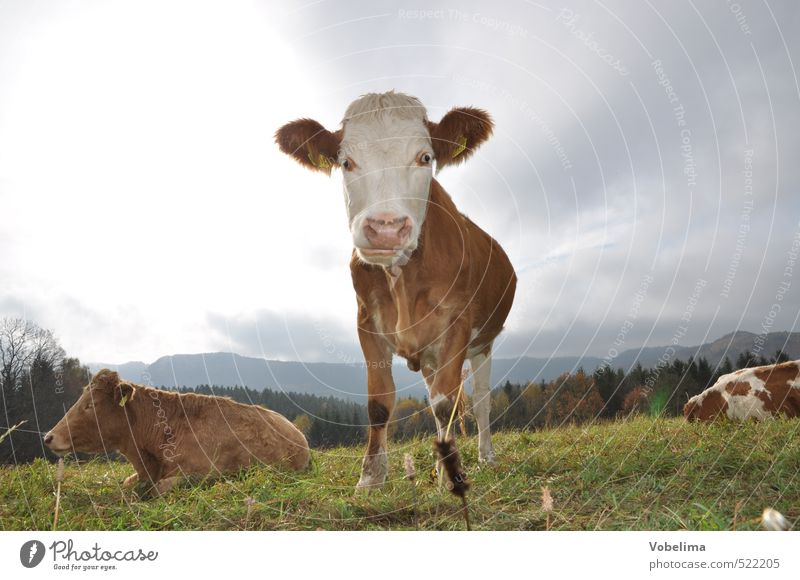 cow Agriculture Forestry Clouds Animal Farm animal Cow 3 Curiosity Colour photo Exterior shot Deserted Copy Space left Copy Space right Copy Space top Day