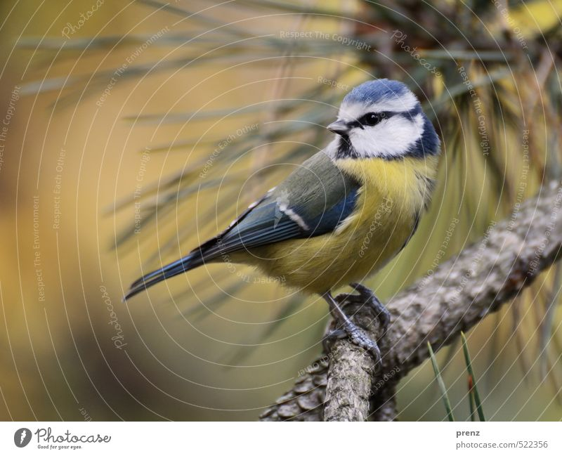 retrospect Environment Nature Animal Wild animal Bird 1 Blue Yellow Tit mouse Sit Pine Twigs and branches Looking Cute Colour photo Exterior shot Deserted