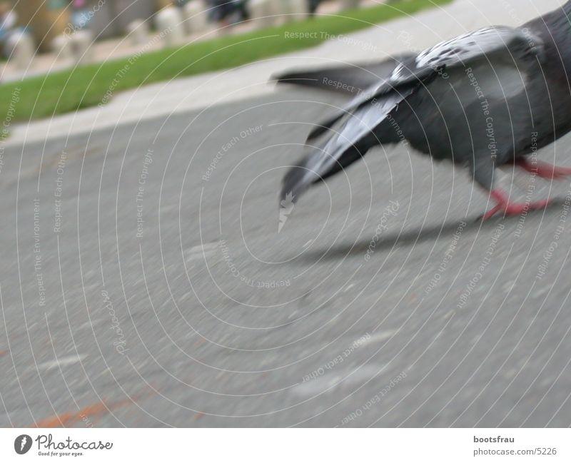 Pigeon 2 Park Feeding Escape
