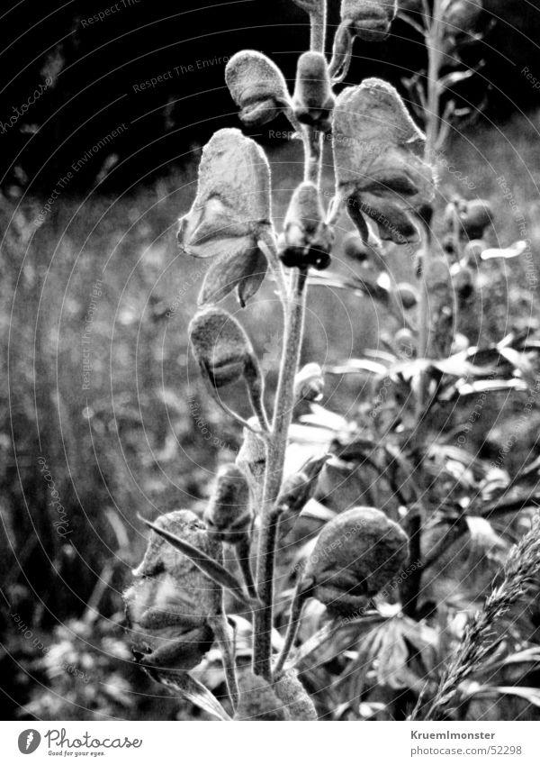 Black&White Flower Blossom Grass mountain flower