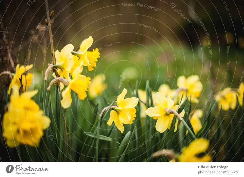 April Nature Plant Spring Flower Grass Blossom Meadow Blossoming Natural Wild Yellow Green Spring fever Narcissus Wild daffodil Narrow Spring flower