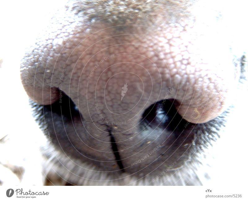 olfactory bulb Dog Labrador Brown Hollow Nostril Senses Nose Odor