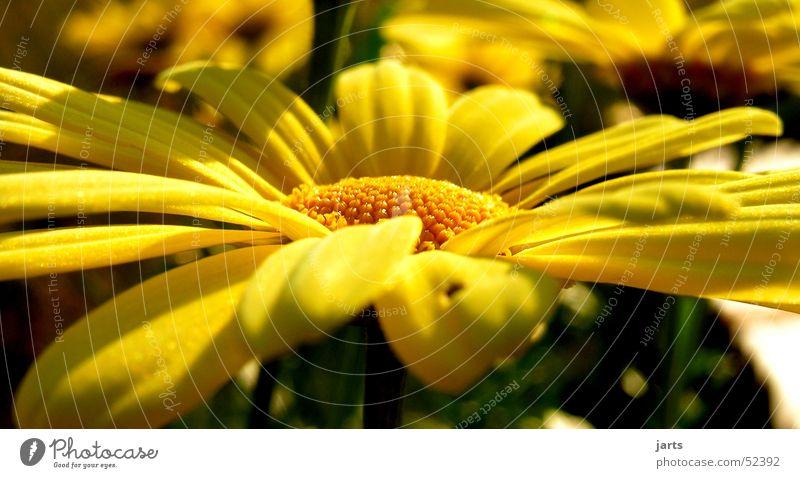 yellow Marguerite Flower Yellow Summer Nature Garden jarts