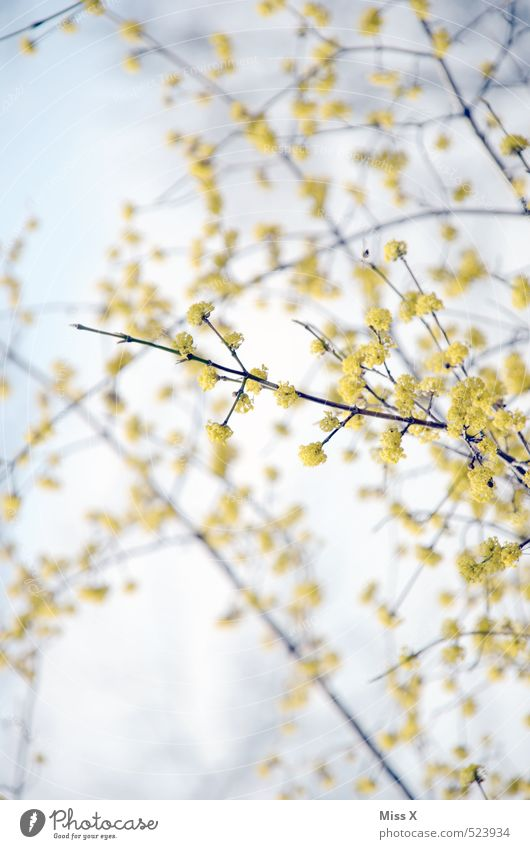 spring Sky Spring Flower Bushes Blossom Blossoming Fragrance Growth Yellow Spring day Spring flower Bud Spring colours Branch Twigs and branches Colour photo