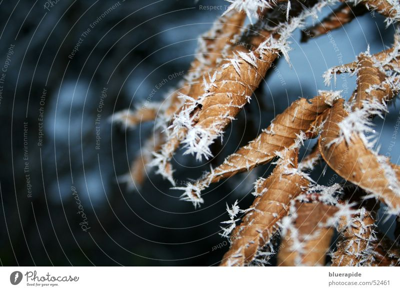 Icy cold Leaf Ice Fog Brown Cold Tree Thorny White Thin Shriveled Frost Hoar frost Snow Plant pointy Limp