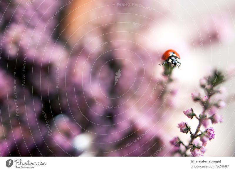 dots Plant Flower Blossom Animal Beetle 1 Bouquet Crawl Near Wild Pink Colour Nature Insect Ladybird Above Blur Stalk Colour photo Close-up
