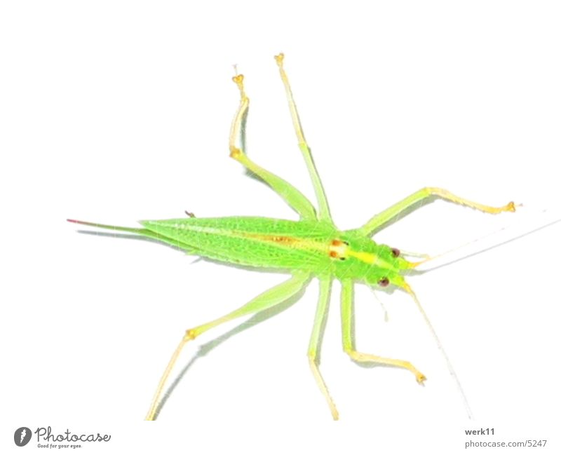 Green Animal Insect Locust Pests