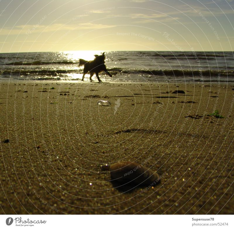 Dog on the beach Beach Ocean Mussel Sunset Playing Lake Netherlands North Sea