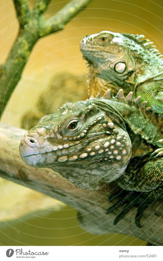 kites Saurians Animal Pair of animals Iguana Reptiles Terrarium Green Dragon Eyes Looking In pairs