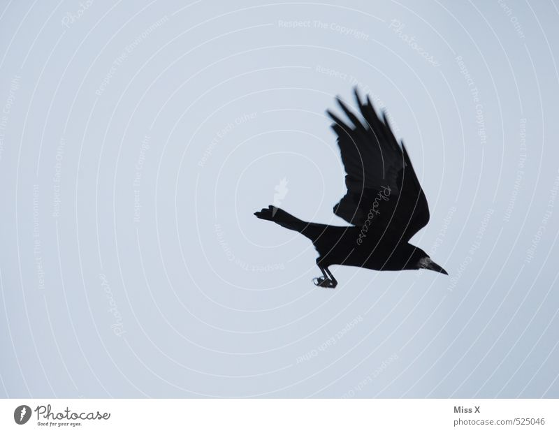 approach Sky Cloudless sky Animal Wild animal Bird 1 Blue Black Timidity Flying Crow Carrion crow Raven birds Flee Colour photo Exterior shot Deserted