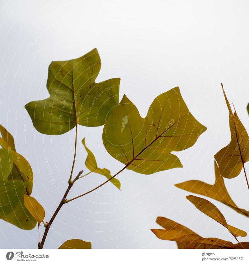 Sky Nature Green Plant Tree Clouds Leaf Autumn Exceptional Brown Large Branch Many Seasons Dreary Japanese