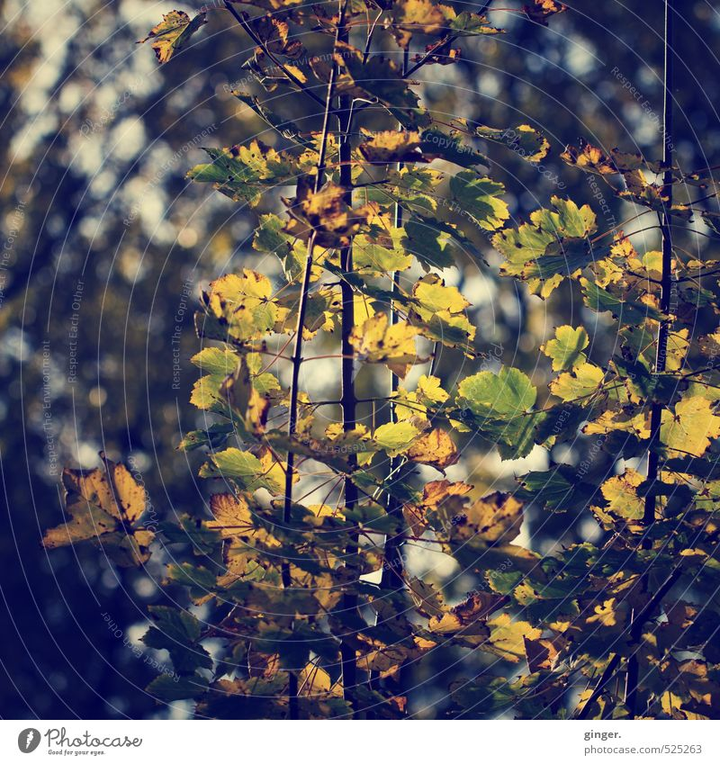 stay. golden. Environment Nature Plant Sunlight Autumn Beautiful weather Bushes Leaf Foliage plant To console Longing Moody Limp Shriveled Autumn leaves